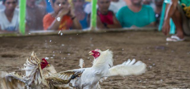 Agen Judi Ayam Birma